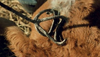 Branding cattle - one of the first forms of branding